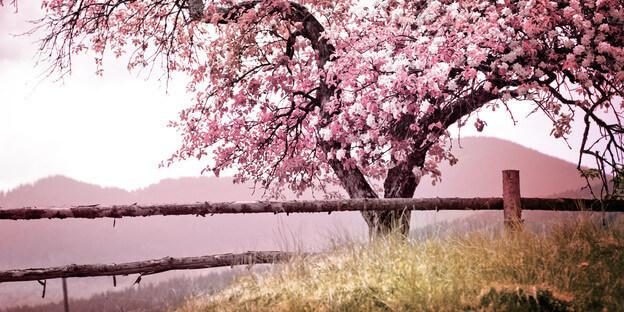 Blühender Baum im Frühling